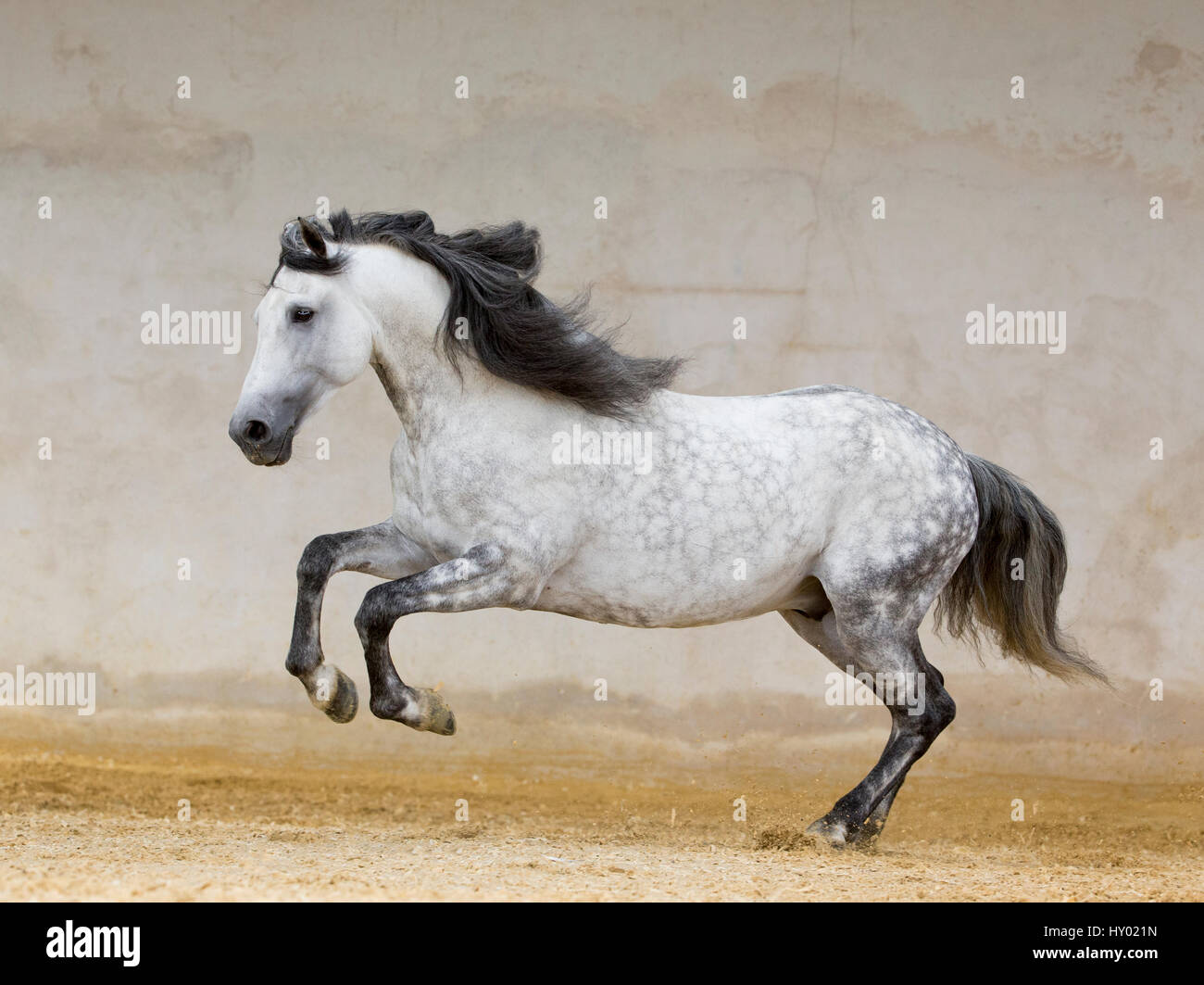 Dapple grey Andalusian stallion running in arena, Northern France, Europe. - Stock Image