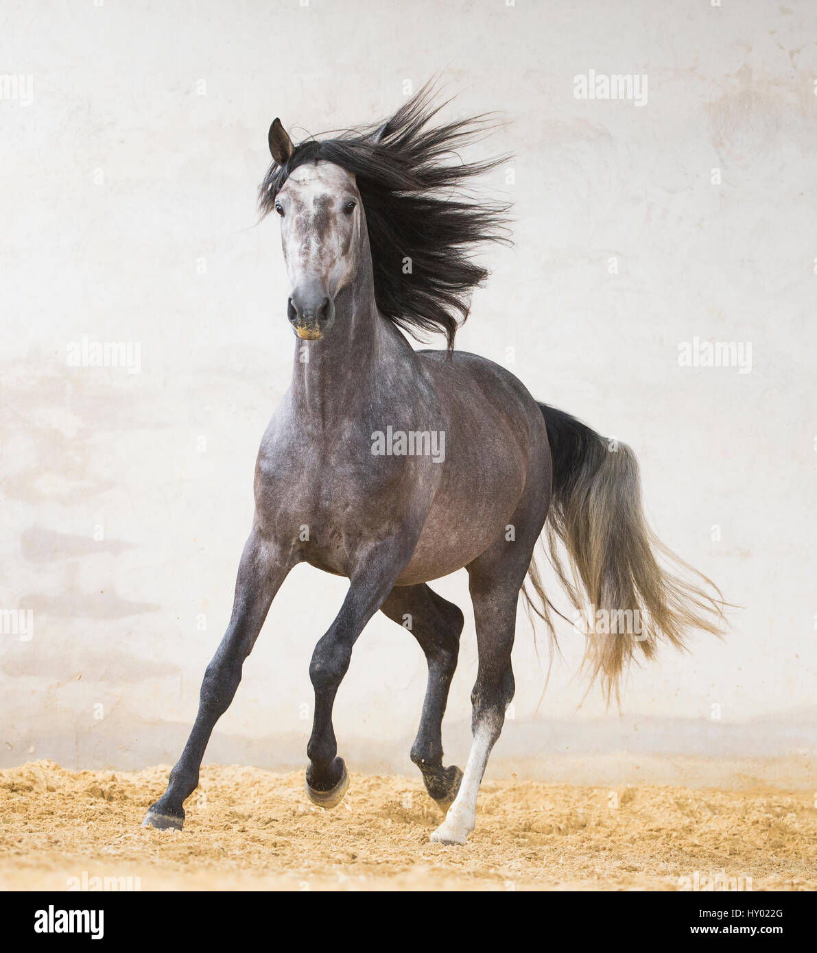 Dapple grey Andalusian stallion running in arena, Northern France, Europe. March. - Stock Image