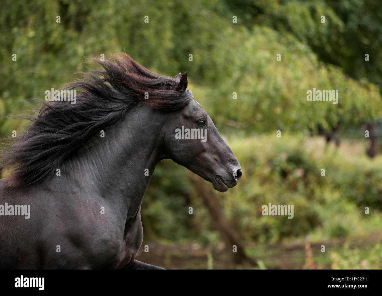 Head portrait of black Merens stallion running in  pasture, Northern France, Europe. February. - Stock Image
