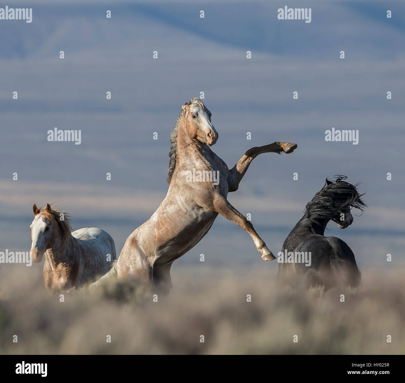 Wild pinto Mustang stallion rearing, White Mountain, Wyoming, USA. August 2014. - Stock Image