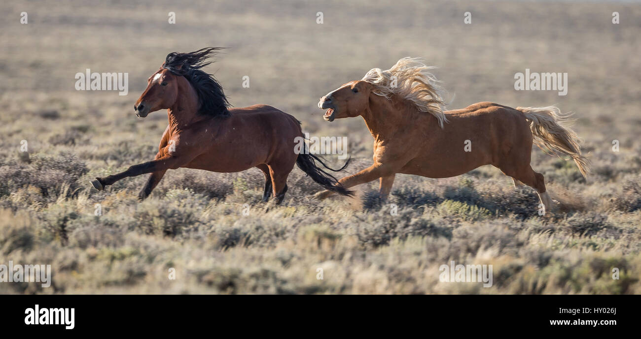 Wild palomino Mustang stallion chasing bay bachelor away from his family, White Mountain, Wyoming, USA. August. - Stock Image