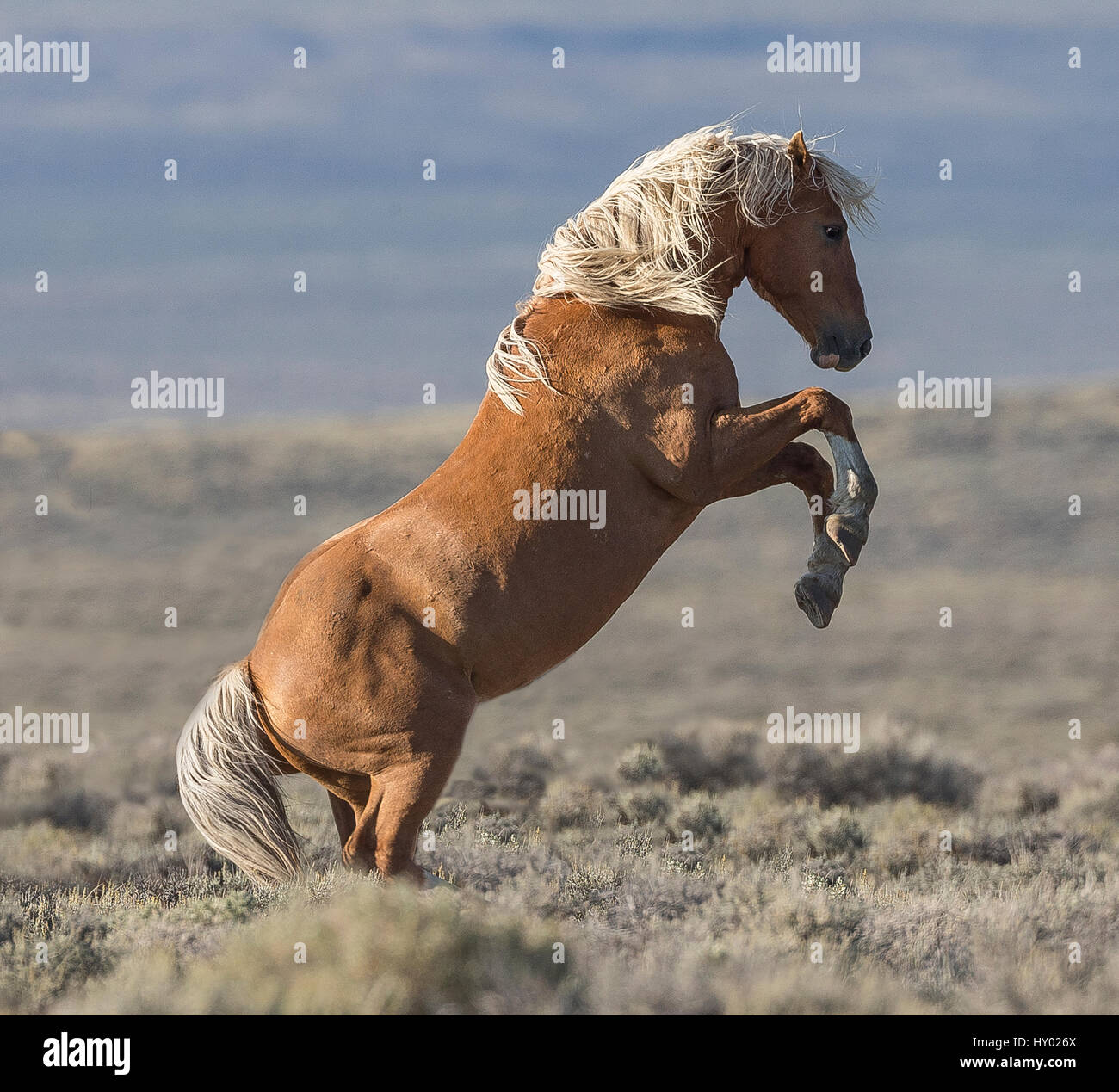 Wild Mustang palomino stallion rearing, White Mountain, Wyoming, USA. August. - Stock Image
