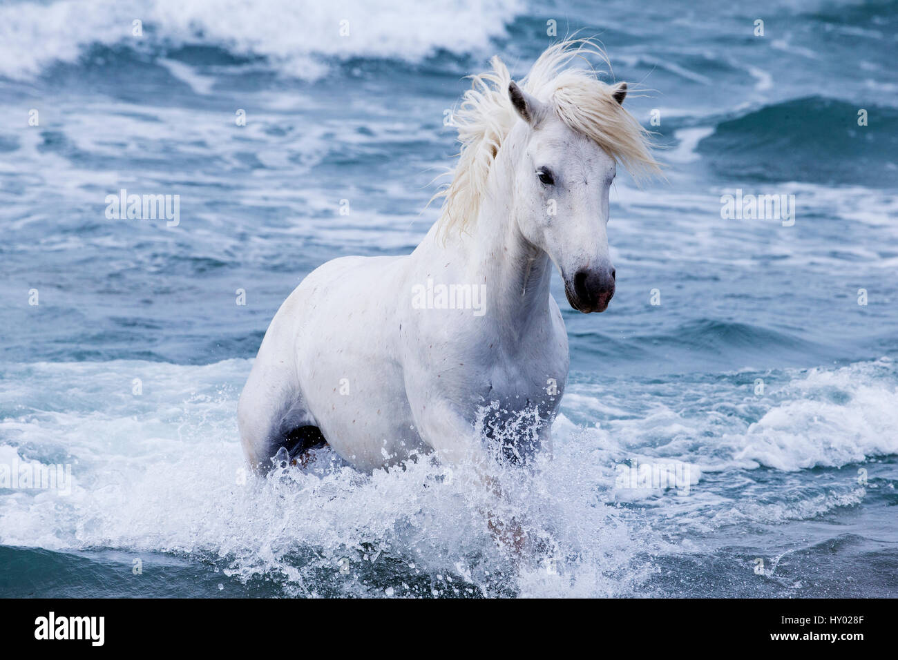 White Camargue stallion coming in from the sea, Camargue, France, Europe. May. - Stock Image