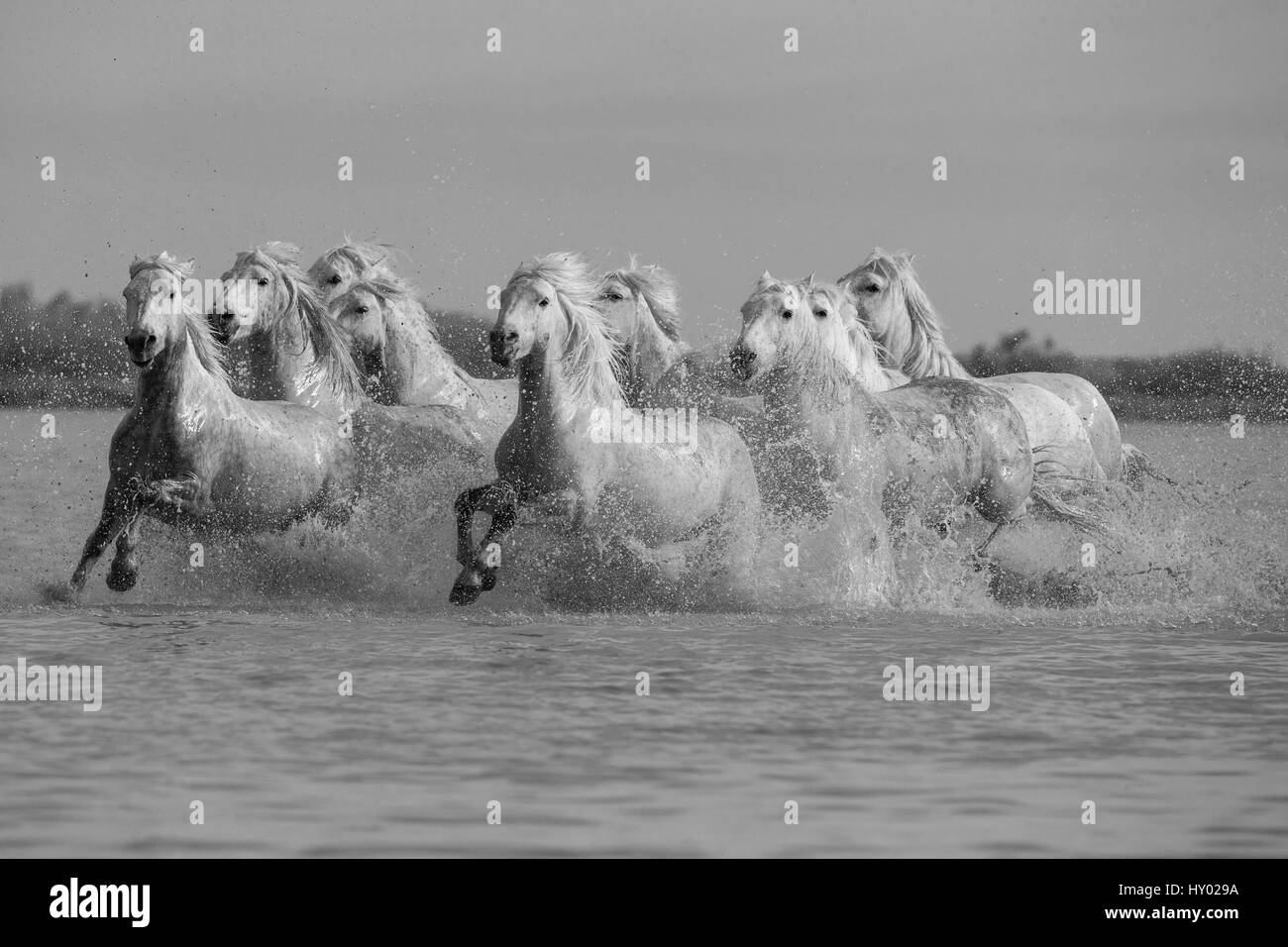 Nine white Camargue horses running through water, Camargue, France, Europe. May. - Stock Image