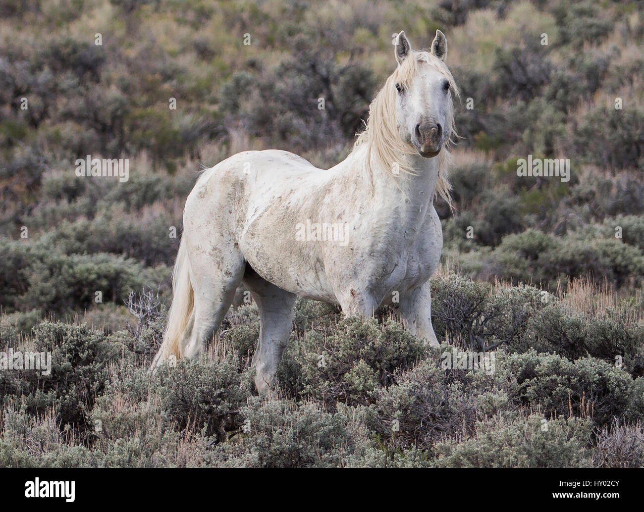 Old grey stallion standing alone in Adobe Town, Wyoming, USA. May. - Stock Image