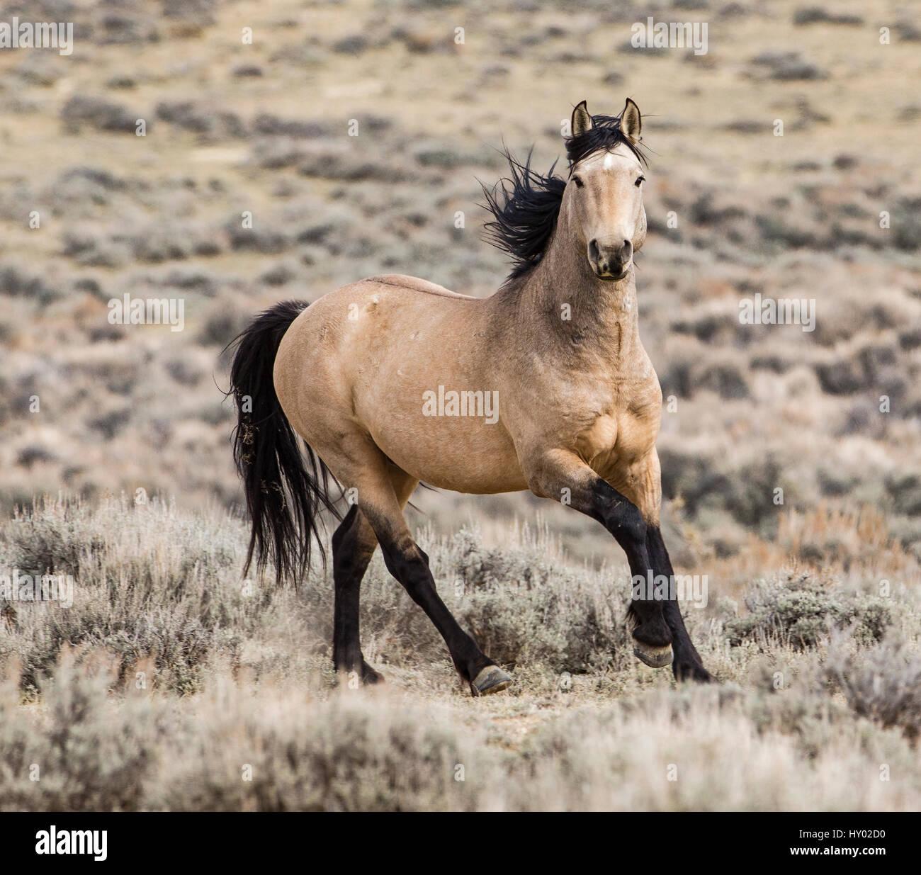 Wild dun Mustang stallion running in Adobe Town, Wyoming, USA. October. - Stock Image