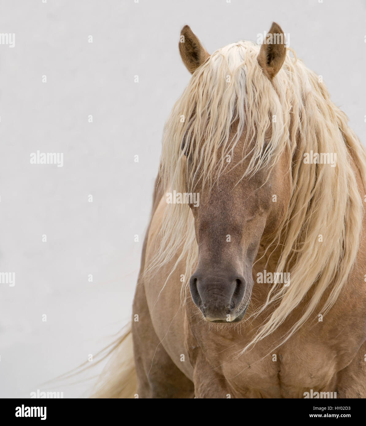 Head portrait of wild dunalino Mustang stallion with long mane, Sand Wash Basin Herd Management Area, Colorado, - Stock Image