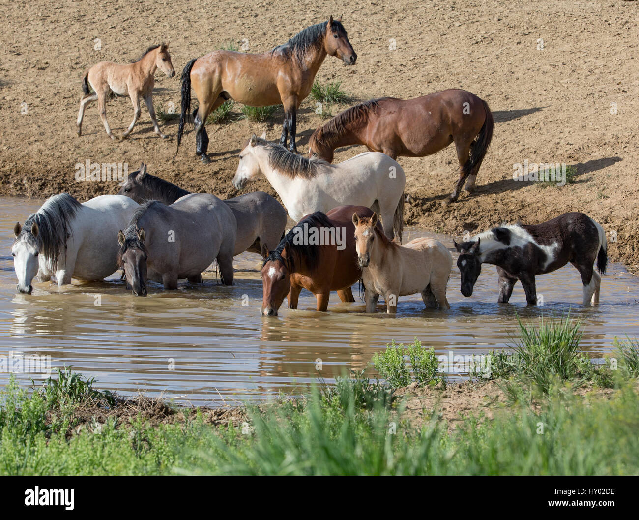 Wild Mustang stallion and family at waterhole in Sand Wash Basin, Colorado, USA. June. - Stock Image