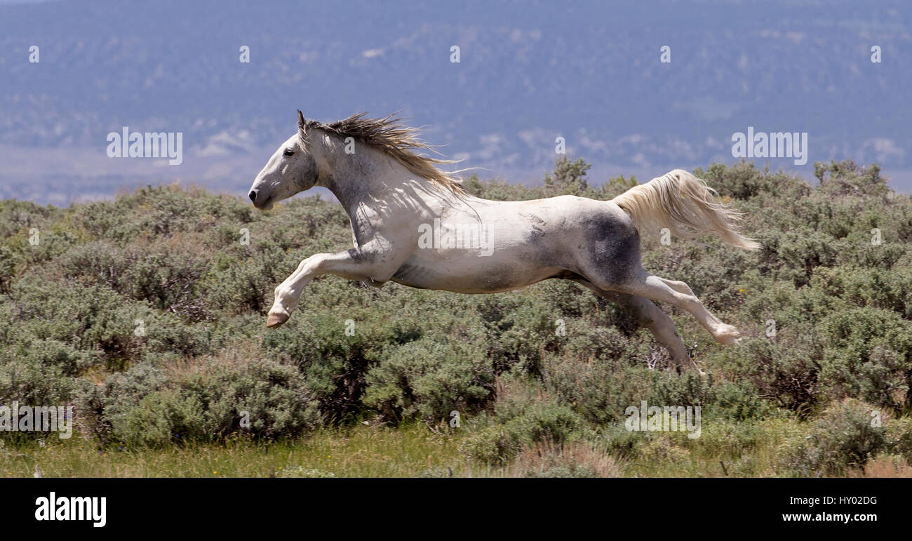 Wild faded pinto Mustang stallion leaping through air in pursuit of another stallion, Sand Wash Basin, Colorado, - Stock Image