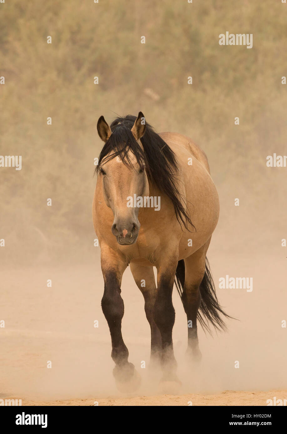 Wild buckskin Mustang stallion walking towards waterhole on dusty dry summer day, Sand Wash Basin, Colorado, USA. - Stock Image