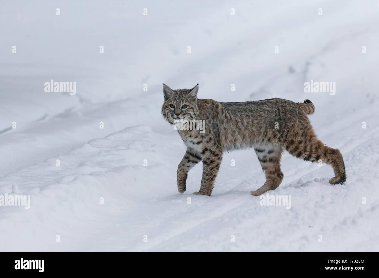 Bobcat (Lynx rufus) pausing in winter snow, Yellowstone, USA. January. - Stock Image