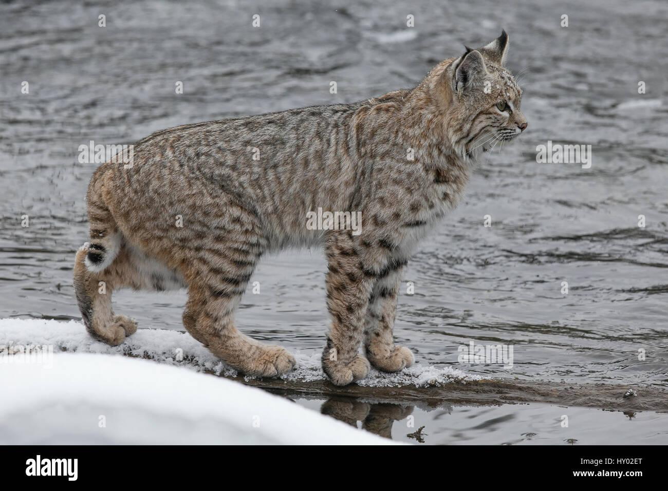 Bobcat (Lynx rufus) pausing on snowy river bank, Yellowstone, USA. January. - Stock Image