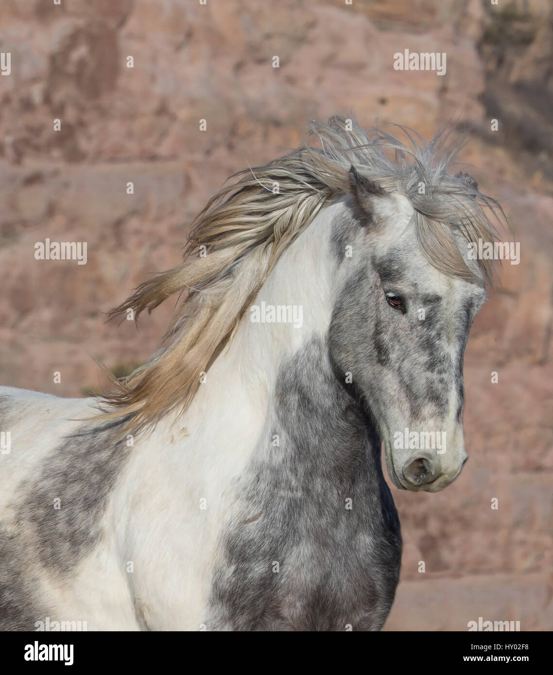 Head Portrait Of Wild Mustang Stallion Tossing His Mane While Stock Photo Alamy