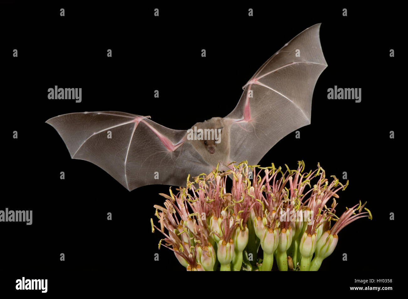 Lesser Long-nosed Bat (Leptonycteris curasoae) flying at night to feed on Agave flower (Agave sp). Tuscon, Arizona, Stock Photo