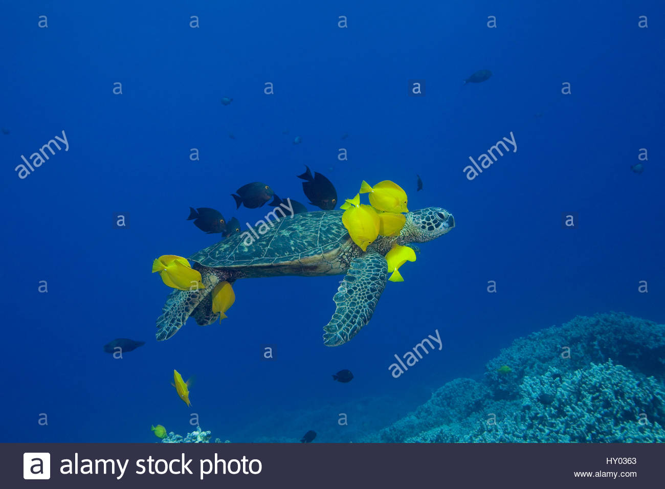 Green sea turtle (Chelonia mydas) being cleaned by herbivorous cleaner fish species Yellow tangs (Zebrasoma flavescens) - Stock Image