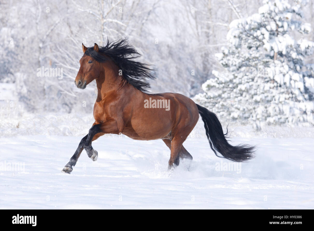 Bay Andalusian stallion running in the snow. Berthoud, Colorado, USA. - Stock Image