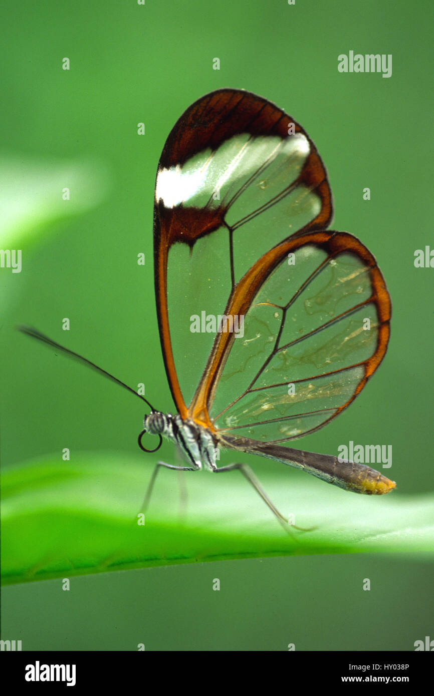 Glasswing butterfly (Greta oto), Costa Rica. - Stock Image