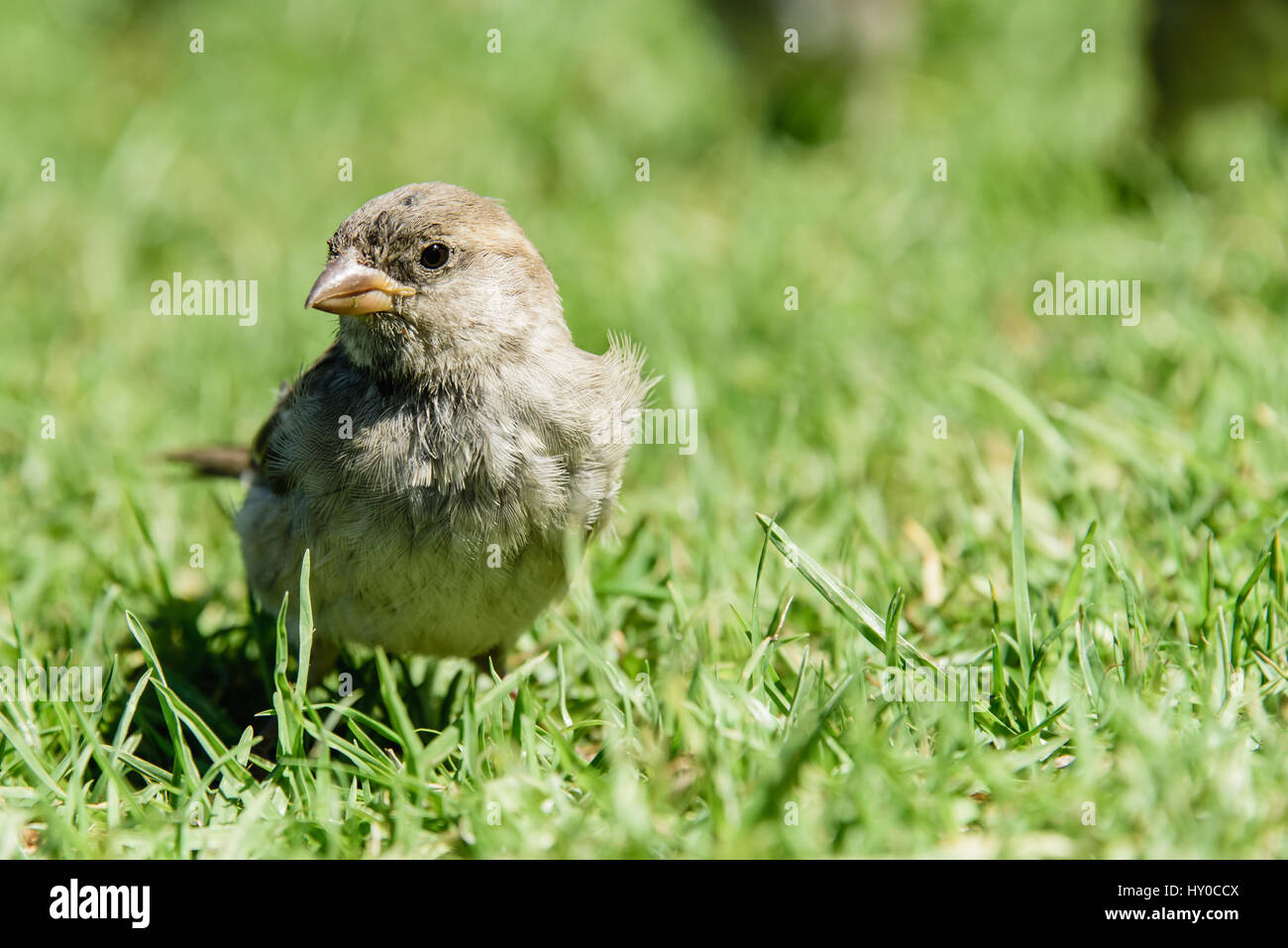 New Zealand house sparrows in a field Stock Photo