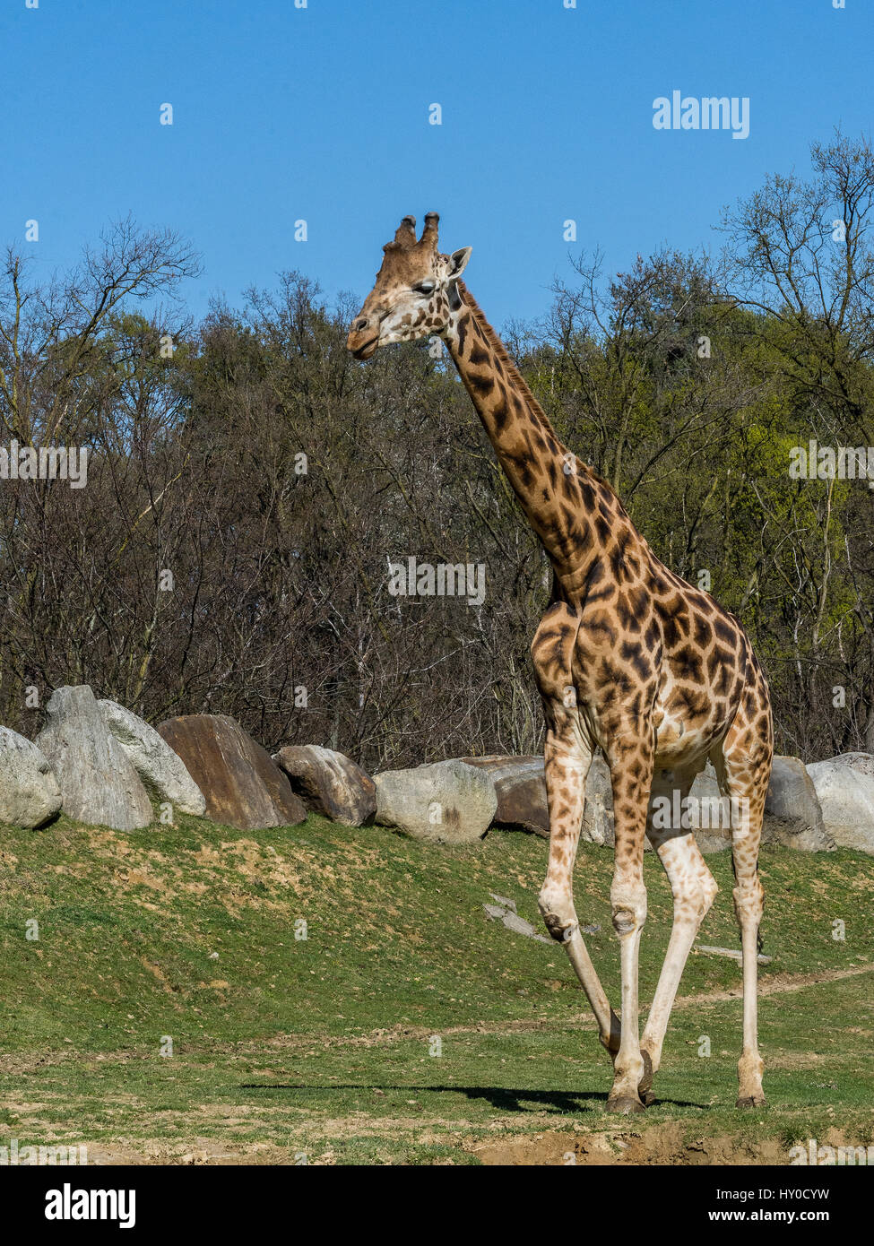 The Masai giraffe (Giraffa tippelskirchi), also spelled Maasai giraffe, also called Kilimanjaro giraffe, is the - Stock Image