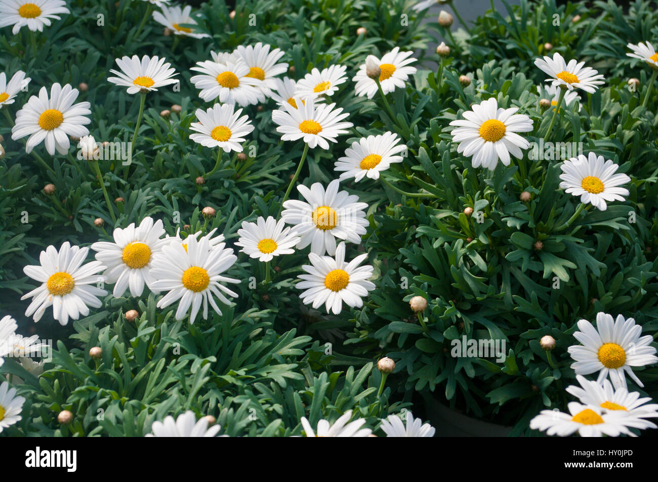 White Marguerite Flowers also known as Chrysanthemum Frutescens and Paris Daisy - Stock Image