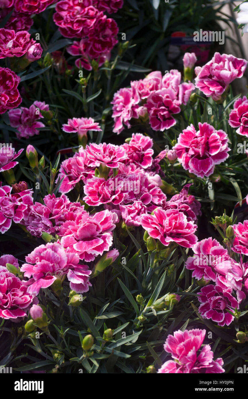 White flowers pinks dianthus stock photos white flowers pinks red and white dianthus tenelke flowers otherwise known as pinks stock image mightylinksfo