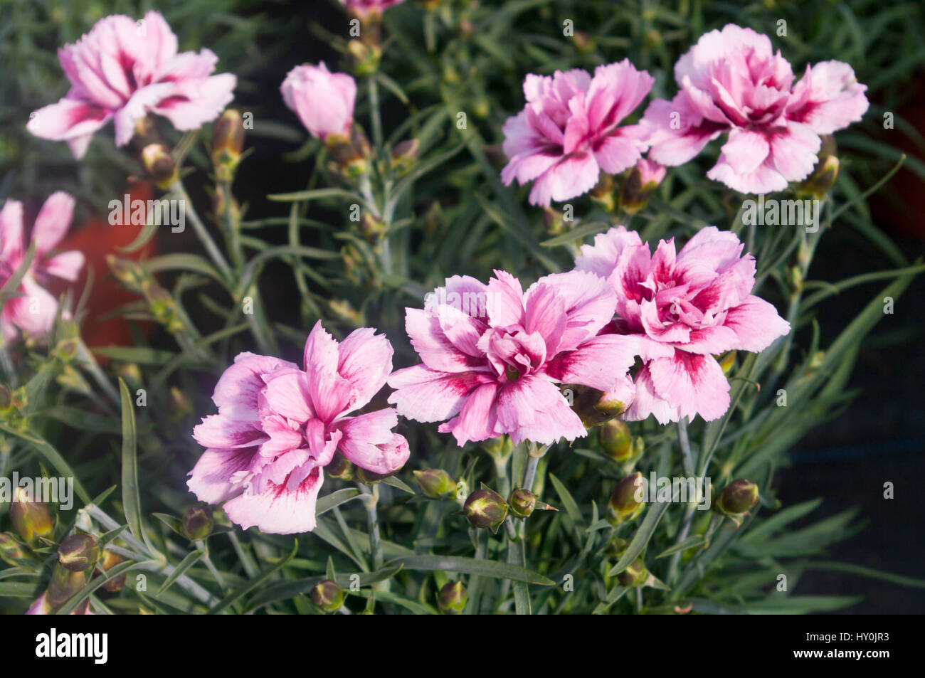 White flowers pinks dianthus stock photos white flowers pinks pink and white dianthus flowers otherwise known as pinks stock image mightylinksfo
