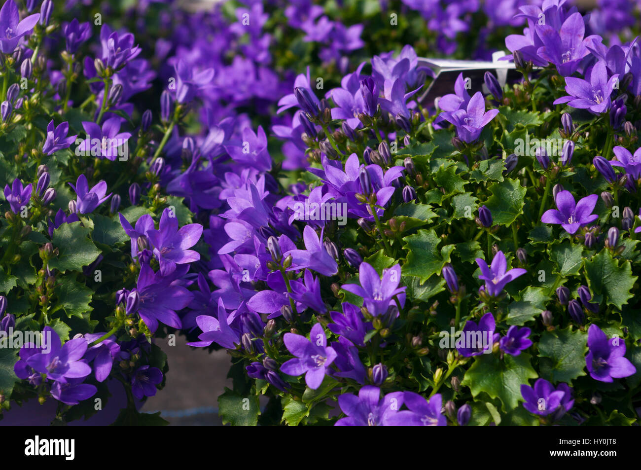 Purple Campanala Ambella Flowers - Stock Image