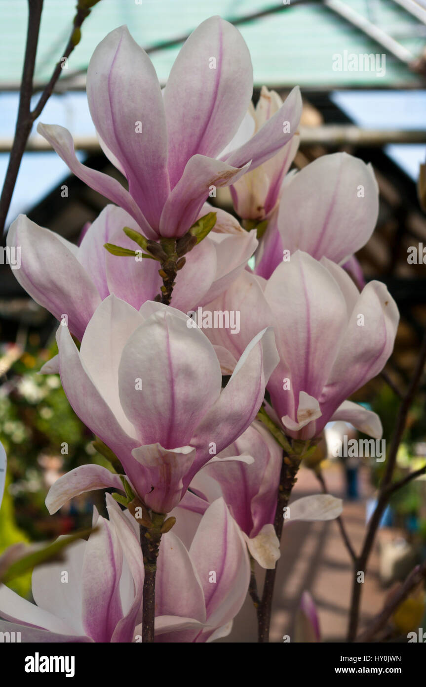 Flowers Of The Magnolia X Soulangeana Tree - Stock Image