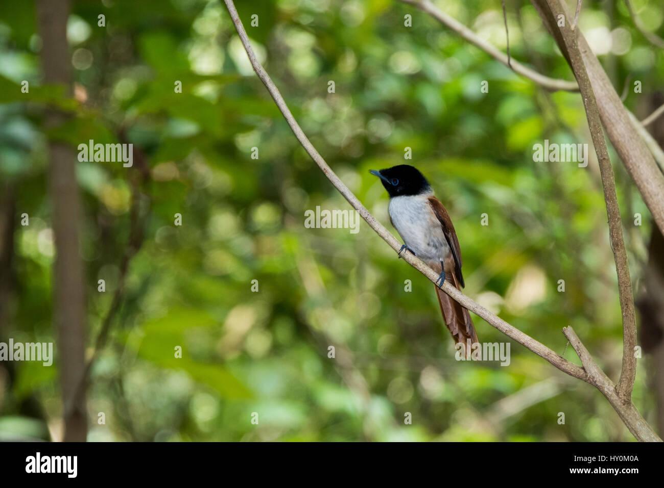 Seychelles, La Digue. La Veuve Nature Reserve. Female Seychelles Paradise flycatcher (WILD: Terpsiphone corvina), Stock Photo