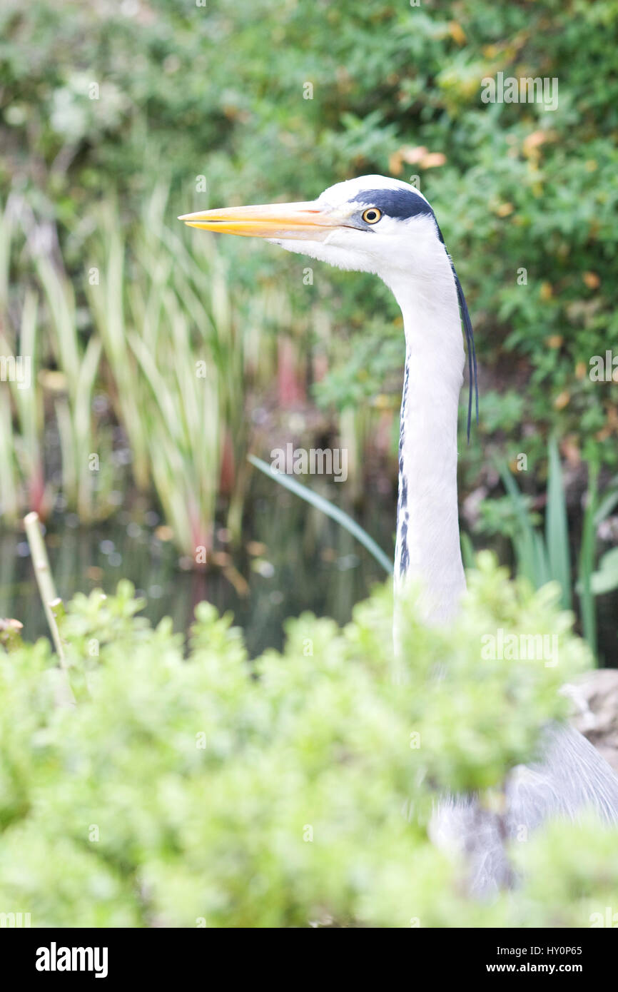 Heron in amongst the flowerbeds at  St James Park London - Stock Image