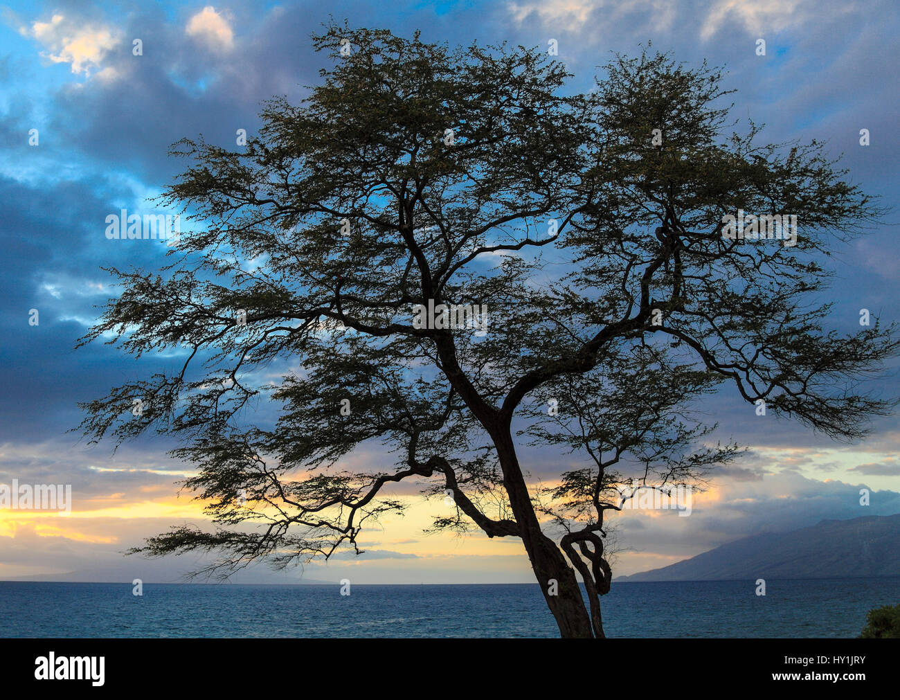 Branch of tree along Wailea coastal walkway in Maui appears to be shaped like numeral 8 when viewed at certain point Stock Photo