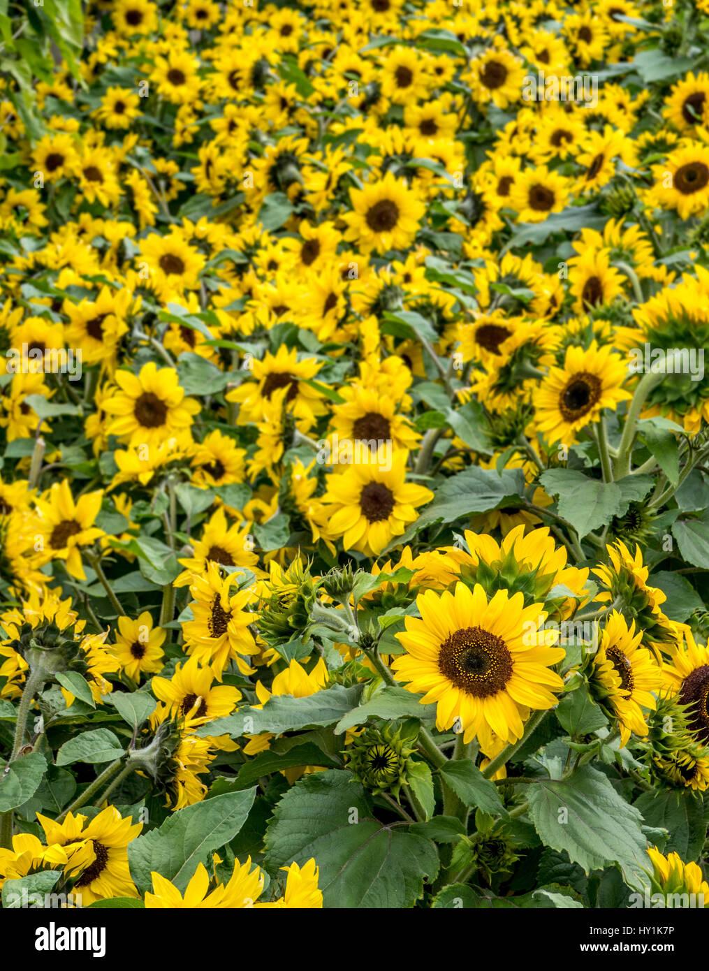 Munchkin dwarf sunflowers - Stock Image