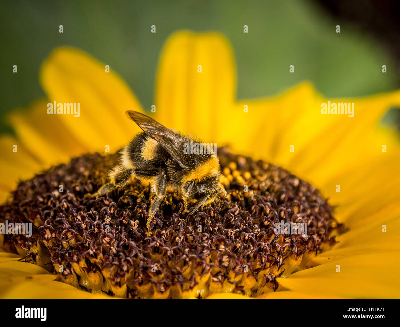 Munchkin dwarf sunflower with bee - Stock Image