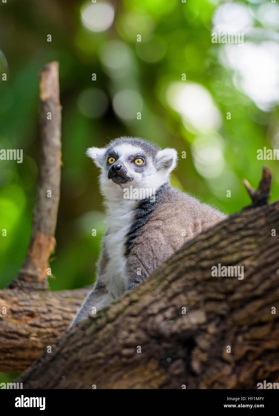 Ring-tailed lemur at Singapore Zoo, Singapore - Stock Image