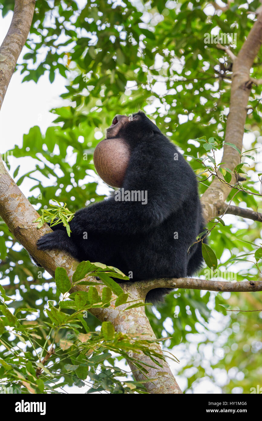 A male Siamang gibbon calling out using its throat pouch to amplify the call at Singapore Zoo, Singapore - Stock Image
