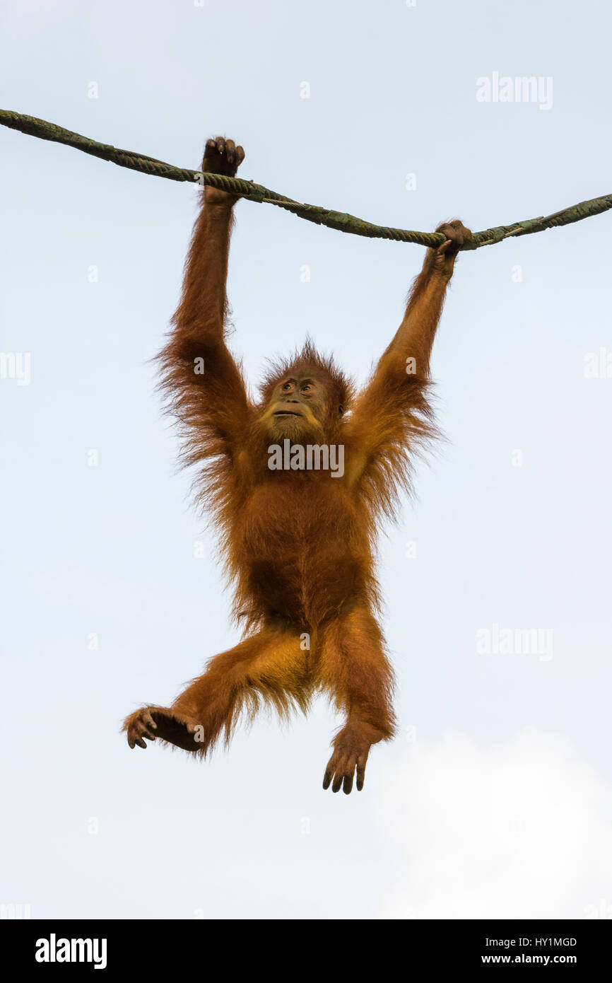 Orangutan swings from a rope in the Free-Ranging Orang-utan exhibit at Singapore Zoo, Singapore - Stock Image