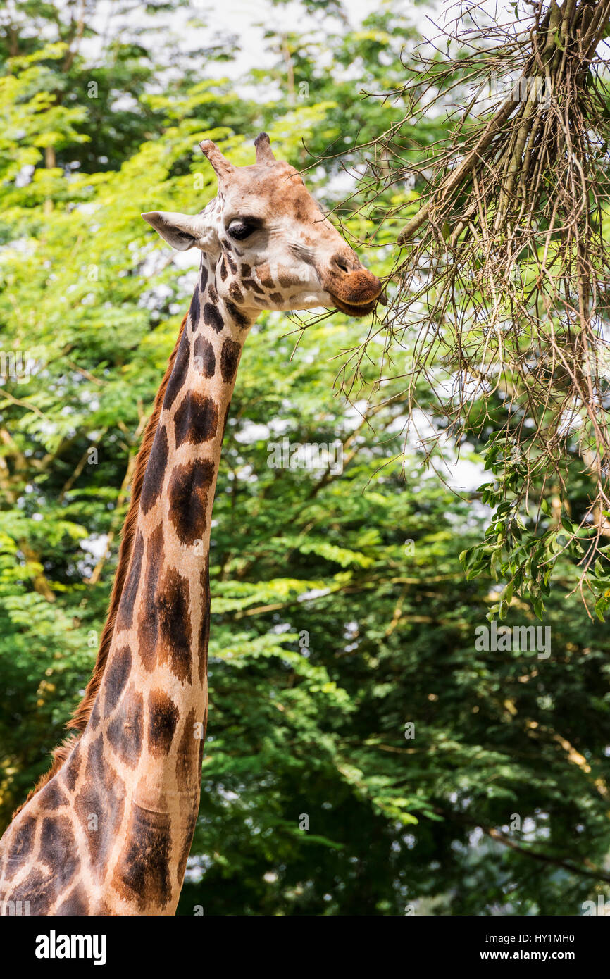 Rothschild's giraffe eating at Singapore Zoo, Singapore - Stock Image