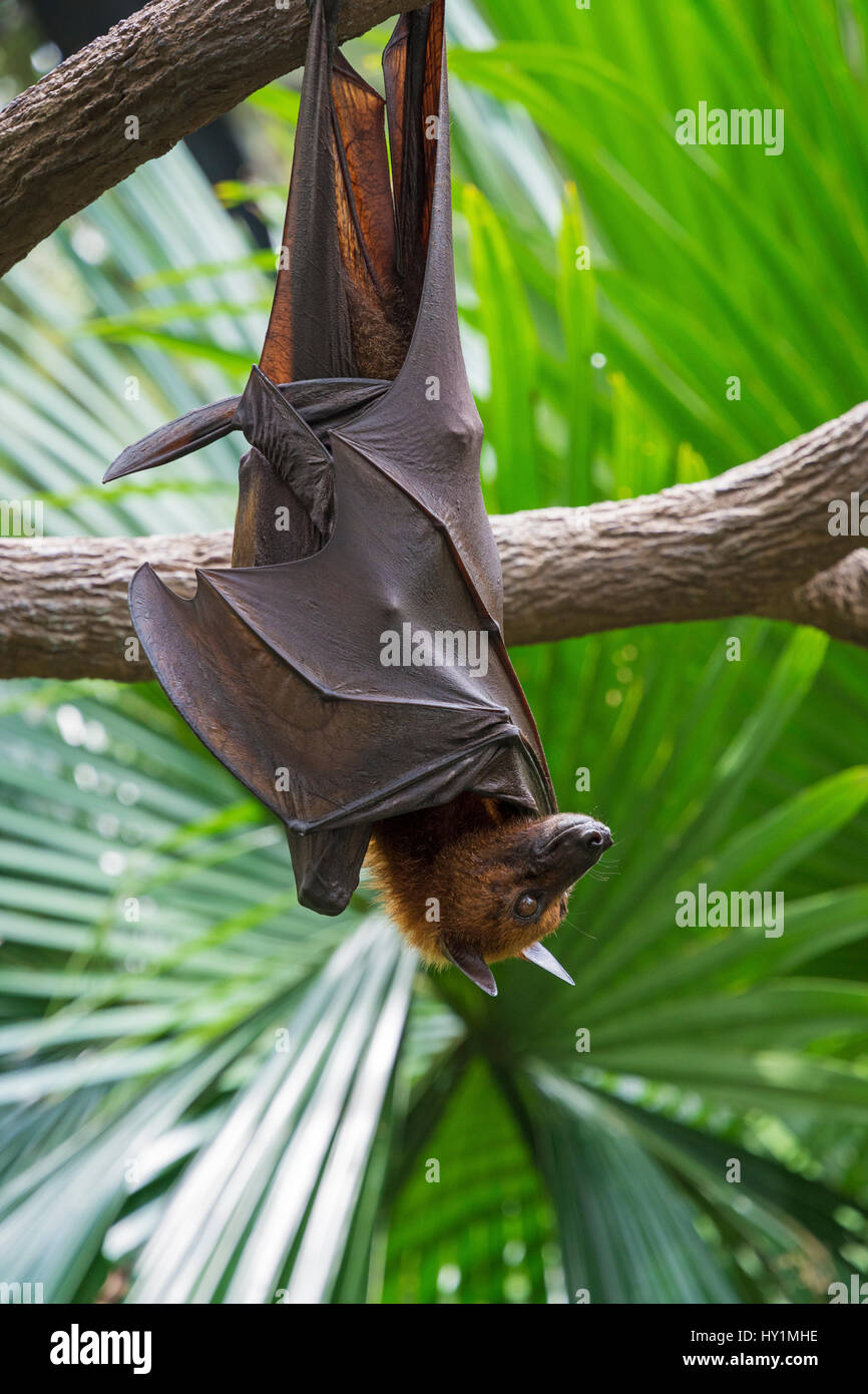 Malayan Flying Fox hanging upside down from a tree branch in the Fragile Forest biodome in Singapore Zoo, Singapore - Stock Image