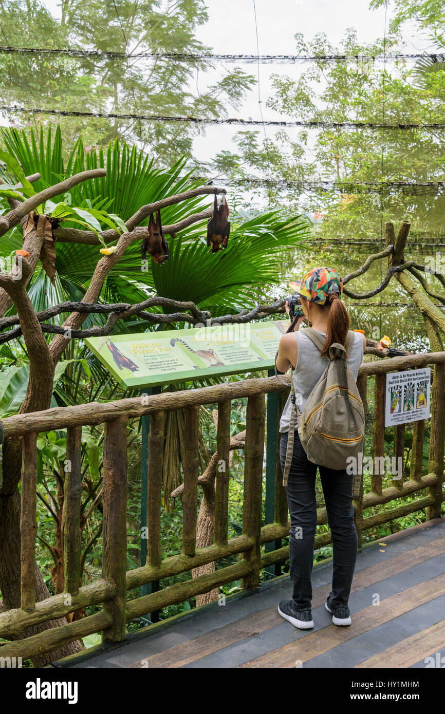 Woman taking a photo of a Malayan Flying Fox hanging upside down from a tree branch in the Fragile Forest biodome - Stock Image