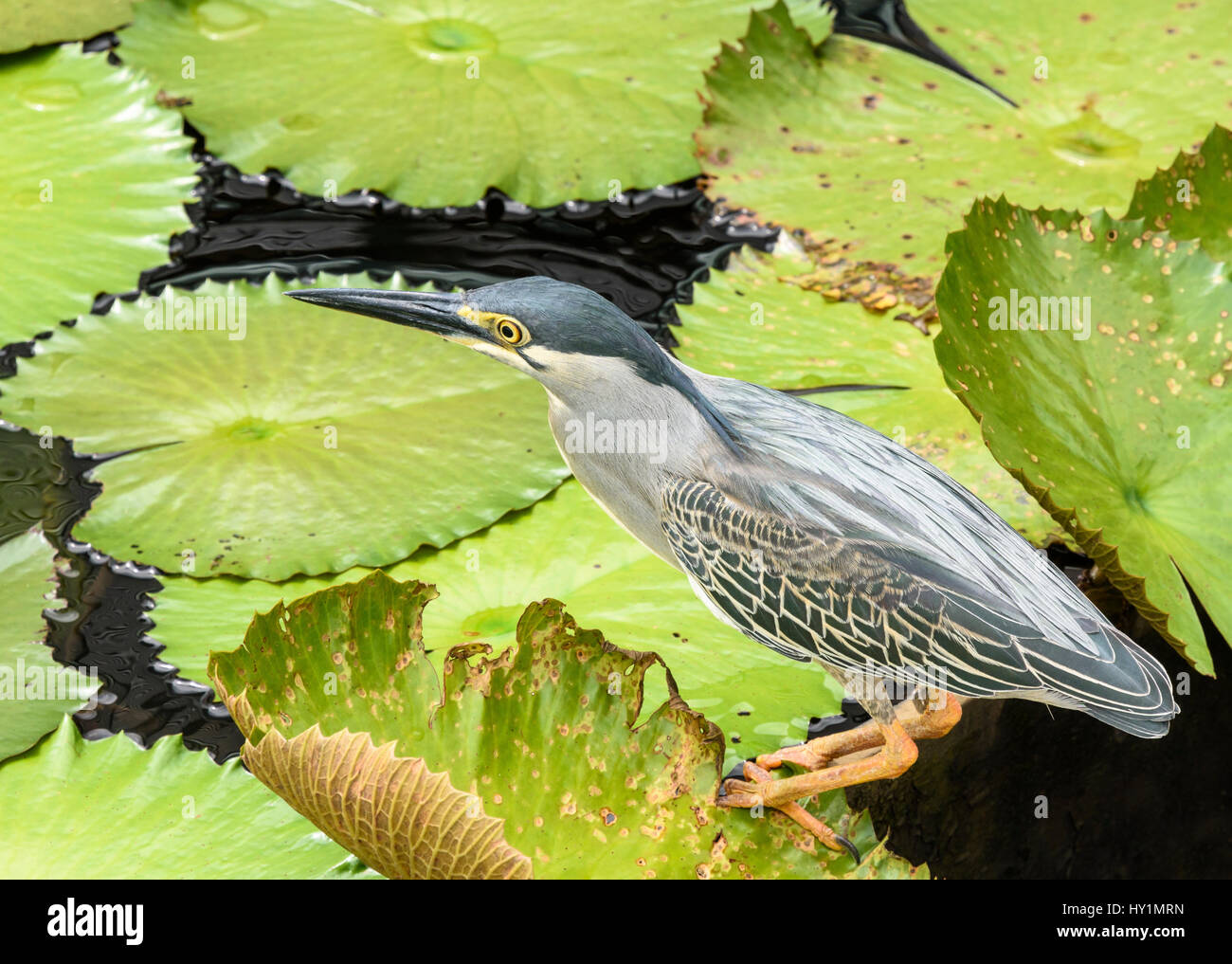 Striated heron walking on a pond of water lilies in Singapore - Stock Image