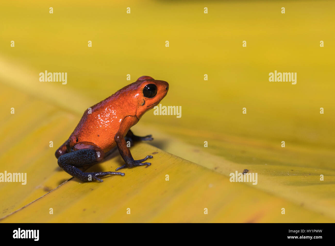 Blue-jeans Frog or Strawberry Poison-dart Frog, Dendrobates pumilio, sitting on a yellow banan leaf in rainforest - Stock Image