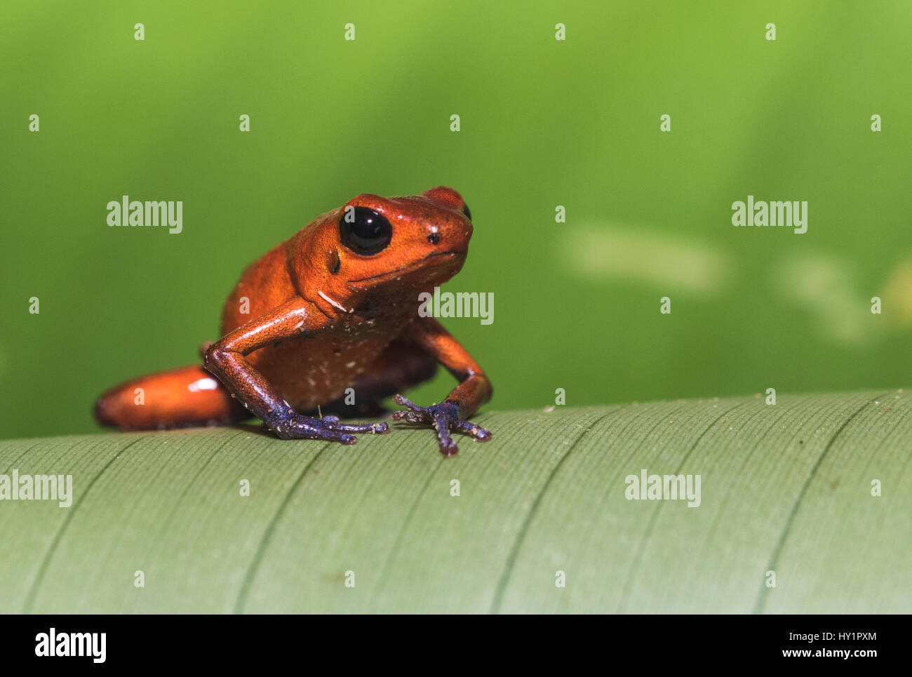 Blue-jeans Frog or Strawberry Poison-dart Frog, Dendrobates pumilio, sitting on a green banan leaf in rainforest - Stock Image