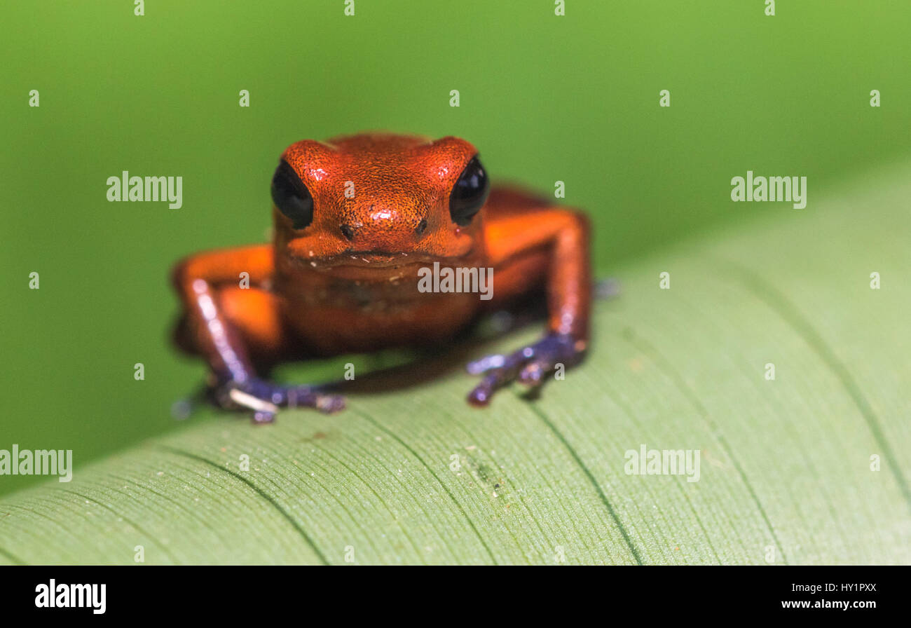 Blue-jeans Frog or Strawberry Poison-dart Frog, Dendrobates pumilio, climbing on a green banan leaf in rainforest - Stock Image