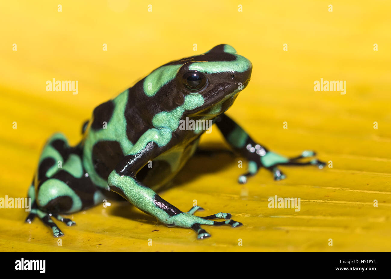 Green-and-black poison dart frog Dendrobates auratus, or green-and-black poison arrow frog sitting on a yellow banana - Stock Image