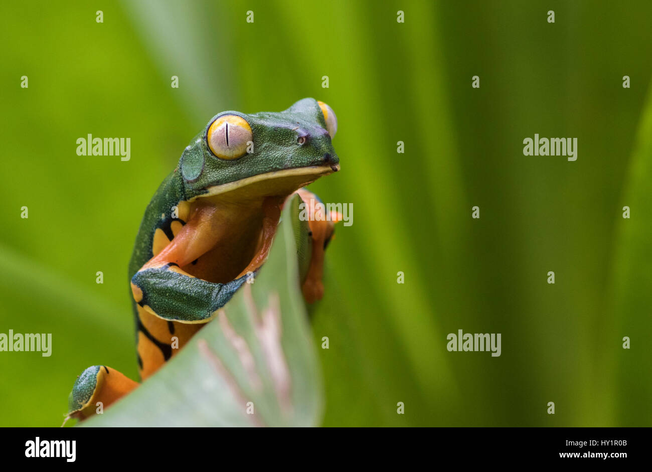 Splendid leaf frog, Cruziohyla calcarifer, climbing on a leaf, looking towards camera, in rainforest, Laguna del Lagarto, Boca Tapada, San Carlos, Cos Stock Photo