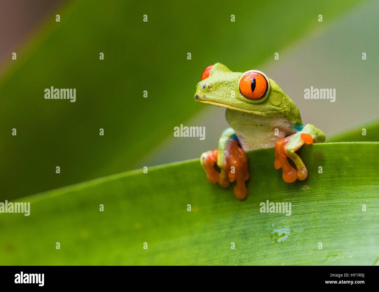 Red-eyed tree frog, Agalychnis callidryas, climbing on a leaf, looking to the side, Laguna del Lagarto, Boca Tapada, San Carlos, Costa Rica Stock Photo