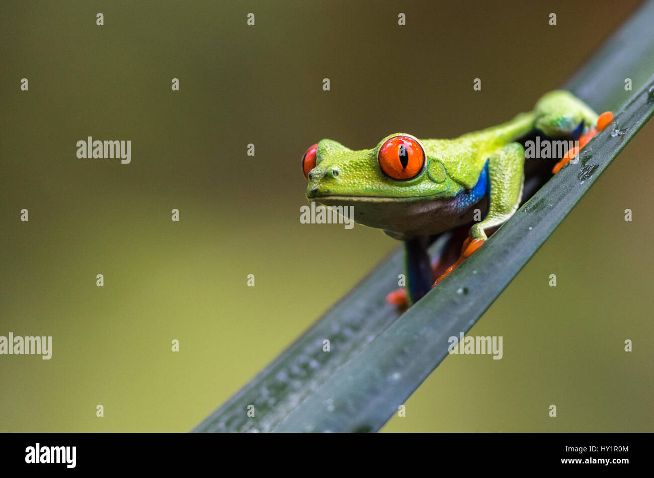 Red-eyed tree frog, Agalychnis callidryas, climbing on a leaf, looking in to the camera, Laguna del Lagarto, Boca - Stock Image