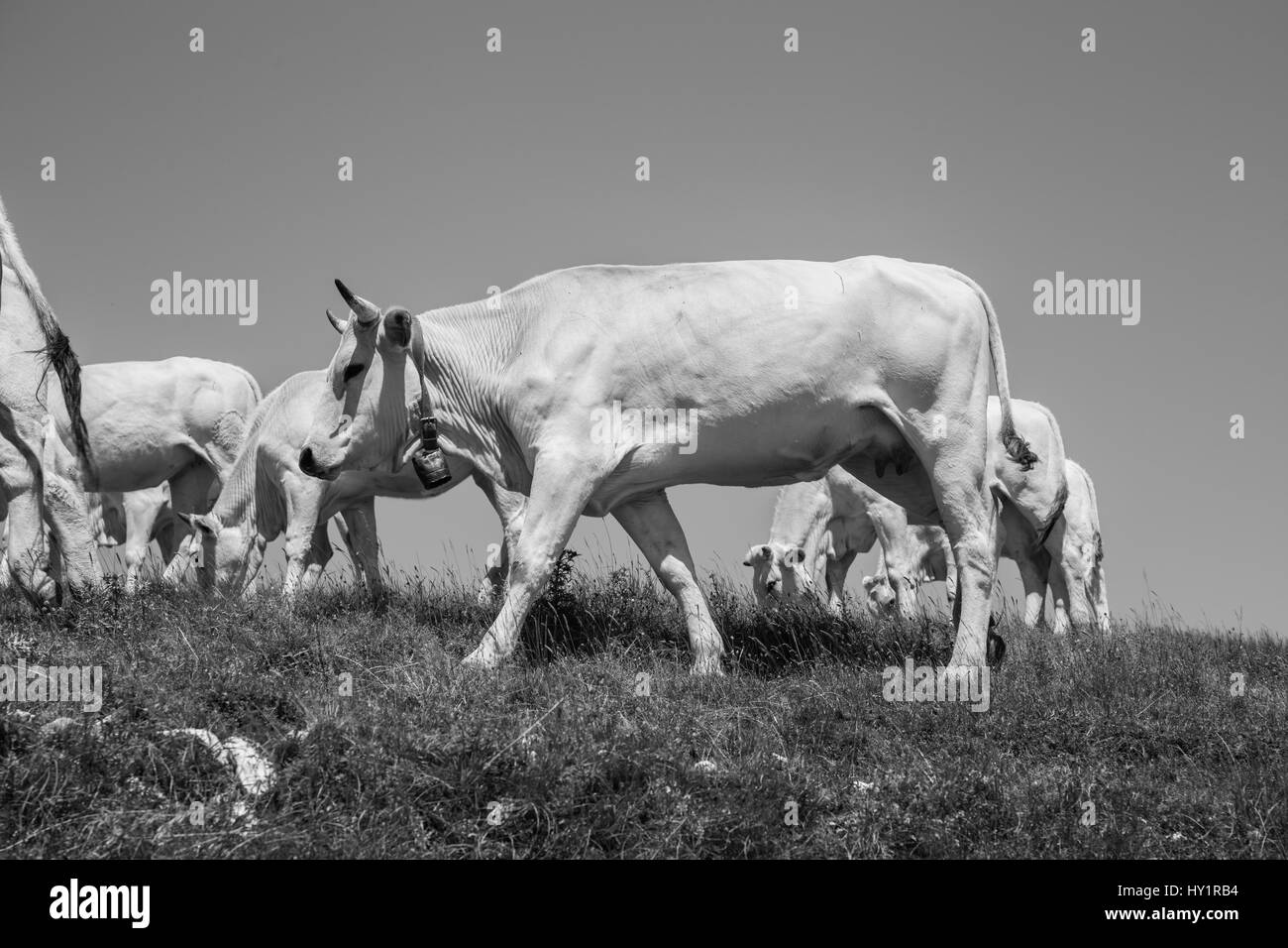 Herd of cows grazing in the mountains - Stock Image
