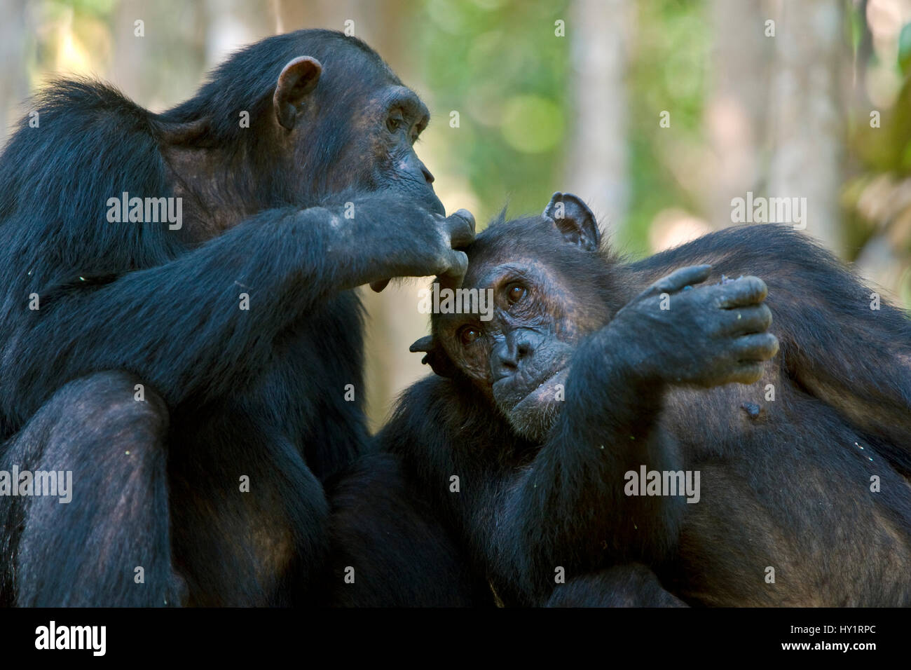 Chimpanzee (Pan troglodytes) being groomed whilst eating berries. Mahale National Park, Tanzania. Endangered species. - Stock Image