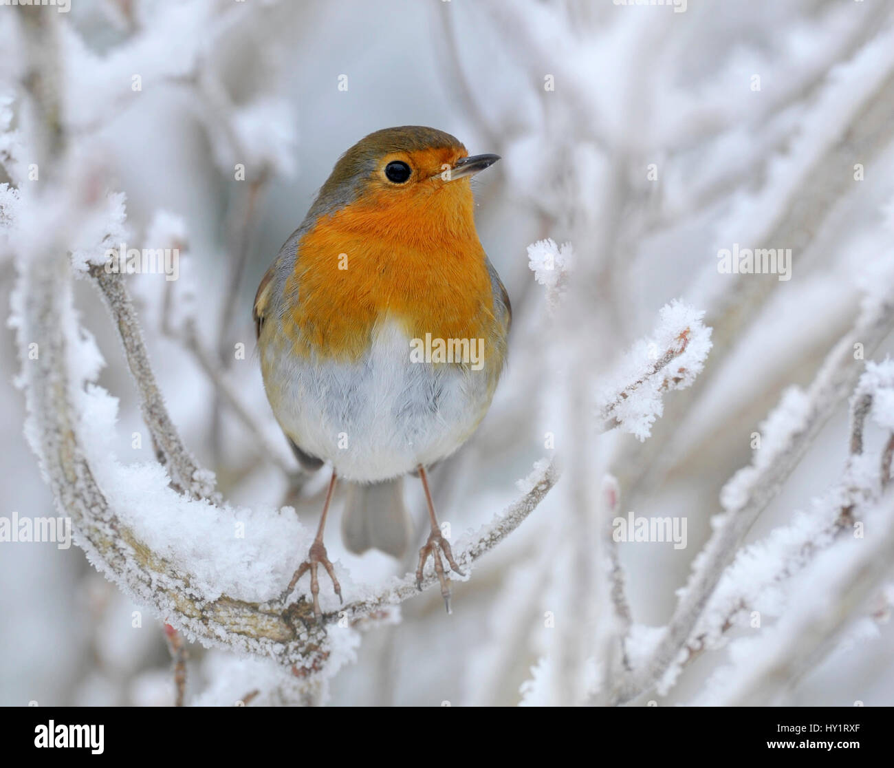 European Robin (Erithacus rubecula) perched in snow, Wales, UK, January. - Stock Image